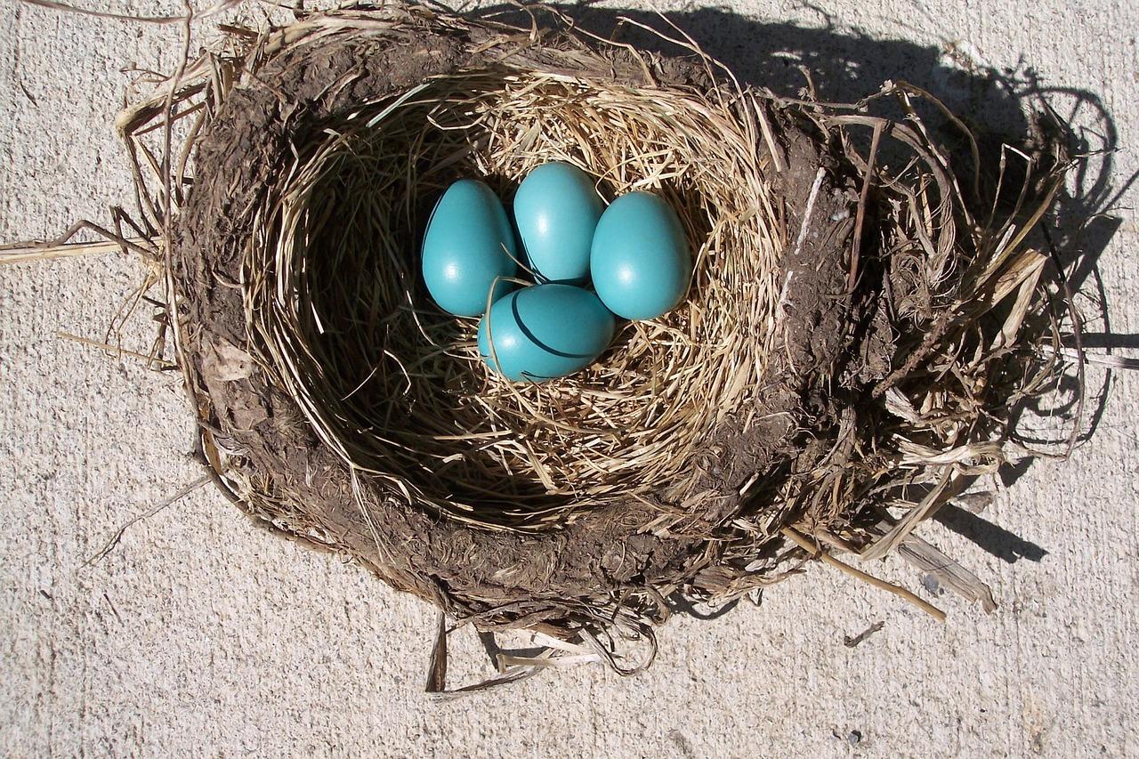 neljä sinistä linnunmunaa pesässä