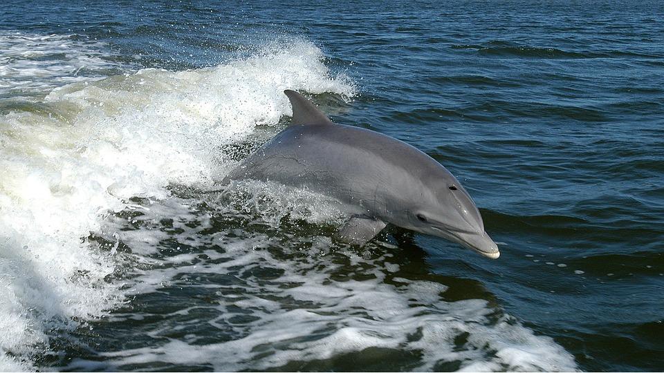 delfiini