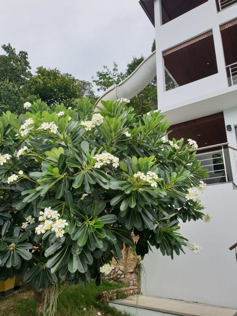 kukkaloistoa Koh Samuin villalla